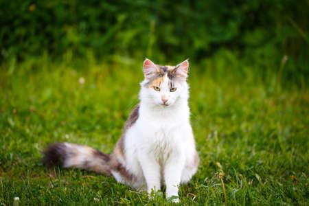 tricolor: tricolor cat Stock Photo