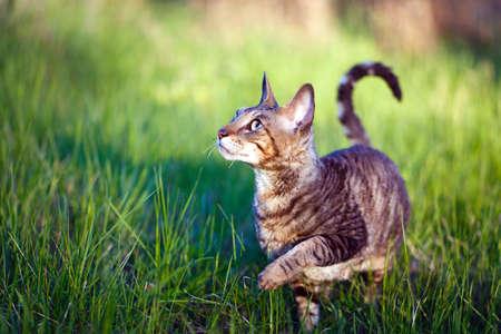 rex: Cornish Rex cat