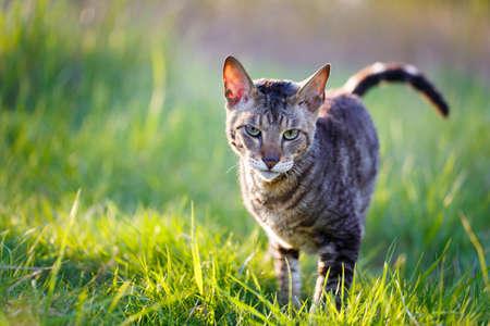 cornish: Cornish Rex cat