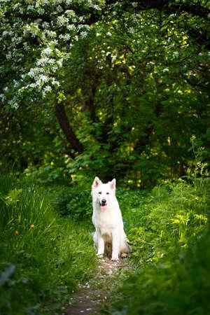 berger: white swiss shepherd dog