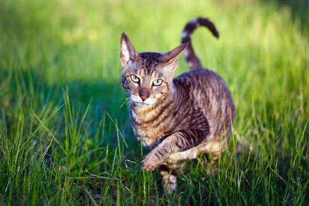 Cornish Rex kočka