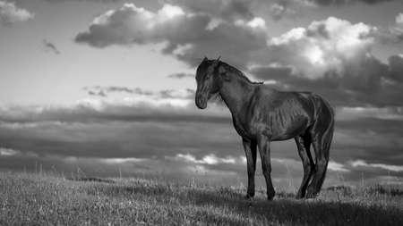trakehner: Trakehner black stallion
