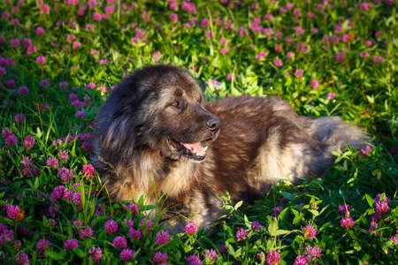 caucasian shepherd: Grey Caucasian Shepherd Dog Stock Photo