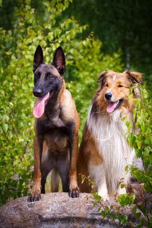 aussie: Aussie Collie and malinois dogs