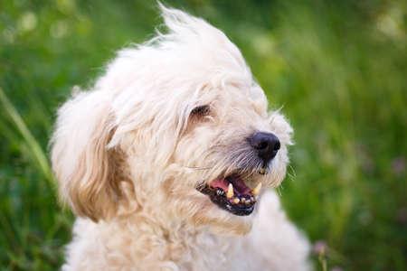 metis: poodle metis dog