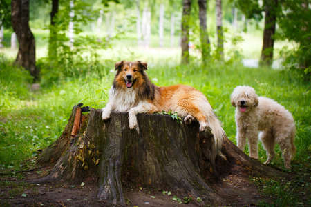 aussie: Aussie Collie dog Stock Photo