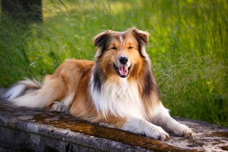 collie: Aussie Collie dog Stock Photo