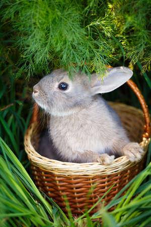 dwarf: dwarf rabbit