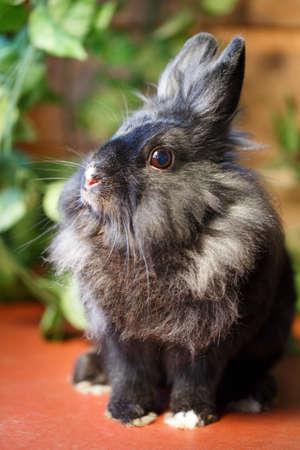 dwarves: dwarf rabbit