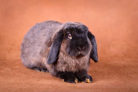 dwarves: Grey rabbit in field