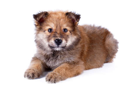 small dog: purebred puppy Stock Photo