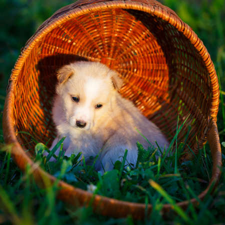 purebred: purebred puppy Stock Photo
