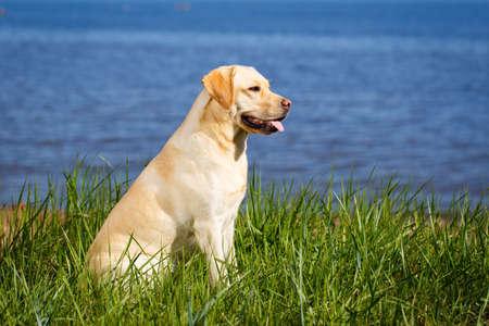 perro labrador: perro labrador retriever Foto de archivo