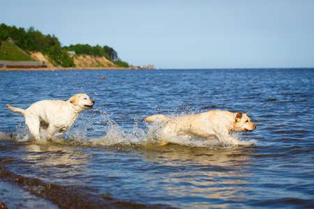 labrador: labrador retriever dog