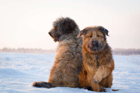 shaggy: two shaggy dogs