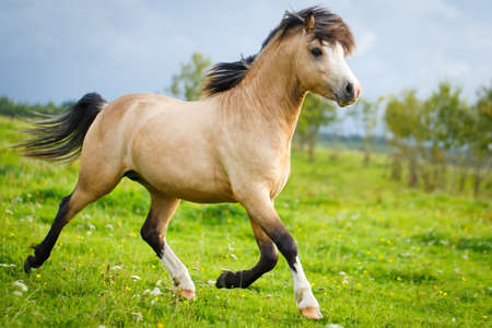 welsh pony Stock Photo