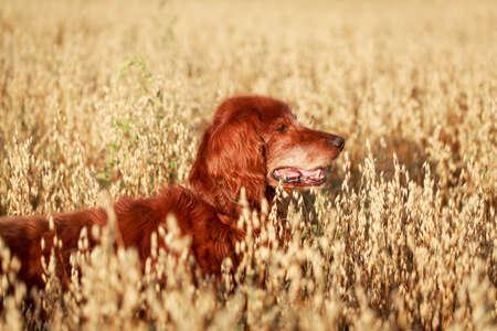 setter: Red irish setter dog