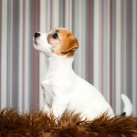 russell: Jack Russell Terrier puppy