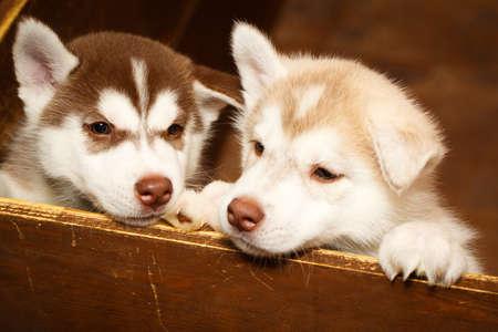siberian: Siberian Husky dog