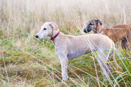 Hounds playing in the field Stock Photo
