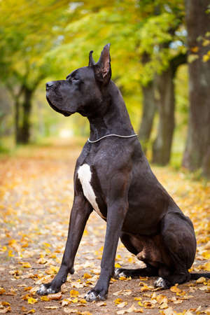 Black great dane dog