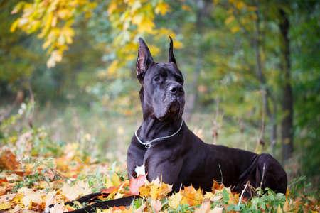 Chien noir dogue Banque d'images - 88703781