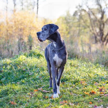 Merle dog dog Banque d'images - 88766567