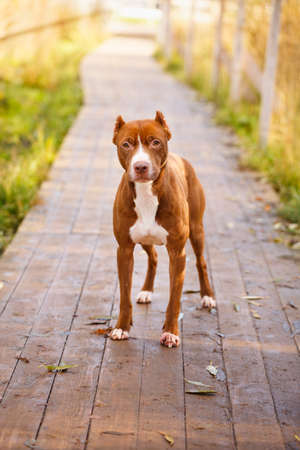 pit fall: american pit bull terrier
