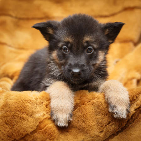 Little puppy of Shepherd Stock Photo