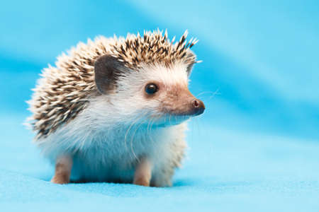African hedgehog at home
