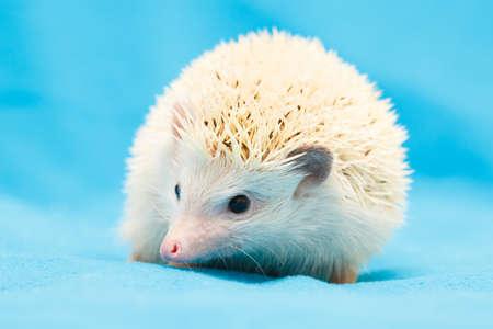African hedgehog at home