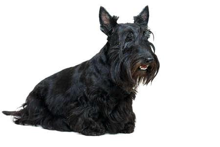 Black Scottish Terrier dog