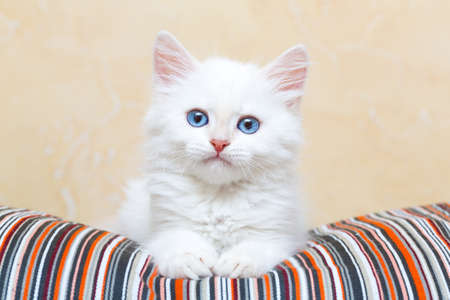自宅でシベリアの子猫 写真素材