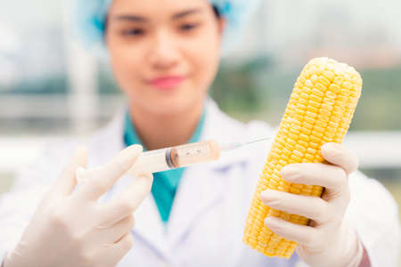 modifying: Scientist injecting GMO into ripe corn