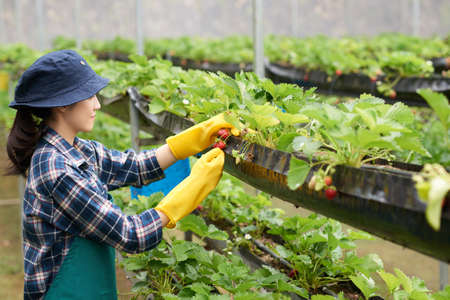 Profile view of pretty Asian farmer wearing checked shirt and apron harvesting crops while standing at strawberry bushes in modern spacious greenhouse