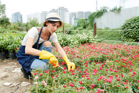 Female garden worker in apron and rubber gloves taking care of plants and prunning flowers