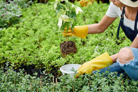 Hands of gardening specialist putting plant into pot and preparing it for selling