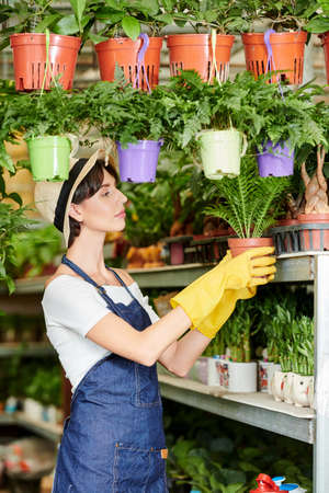 Serious busy plant seller in rubber gloves and apron putting flower pots on shelves in her store