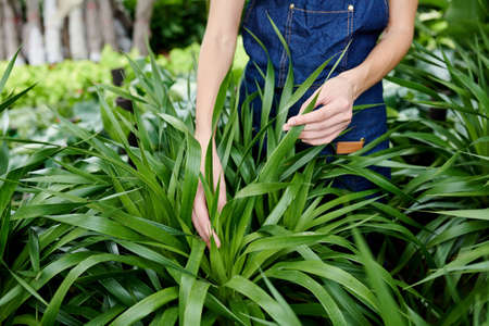 Hands of female gardener touching plant leaves and searching for any visible signs of disease