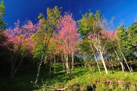 Beautiful cherry blossom, Chiang Mai, Thailand  photo