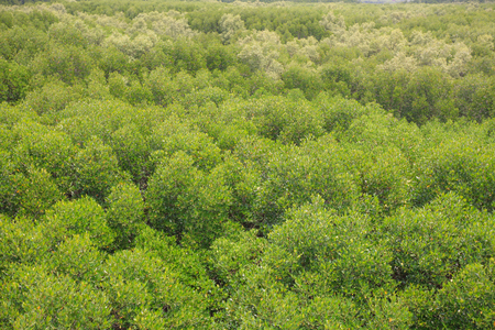 unwanted flora: The forest mangrove at Petchaburi, Thailand.