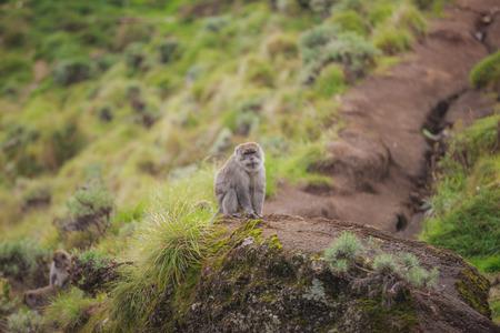 Monkey at Mount Rinjani, Lombok, Indonesia