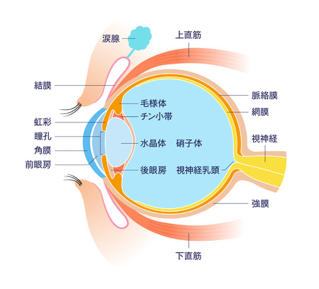 Eye Cross section Anatomy (with name) 矢量图像