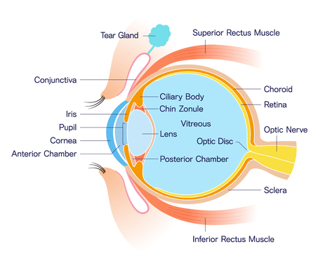 Eye Cross section Anatomy (with name) Ilustração
