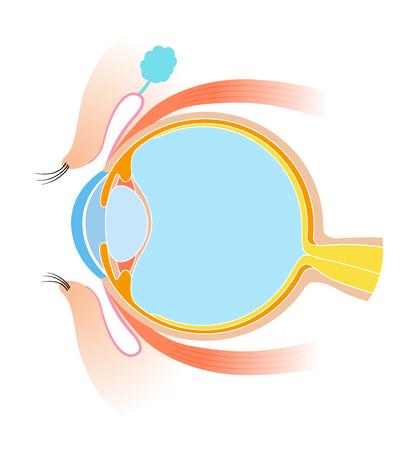 Eye Cross section Anatomy material