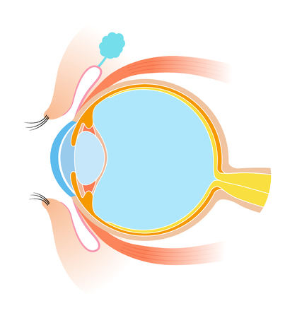Matériel d'anatomie en coupe transversale des yeux
