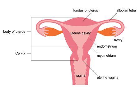 Uterus human figure illustration material and name (English), Anatomical diagram