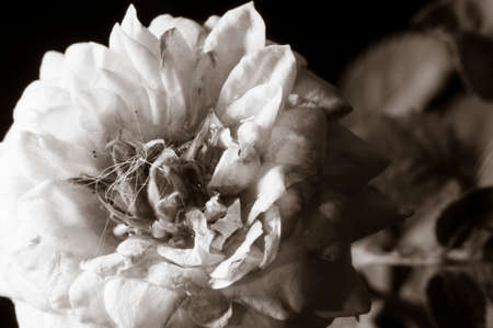 duotone: Flower with duotone