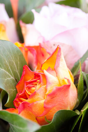 professional lighting: Beautiful flower macro shooting in studio. Professional lighting Stock Photo