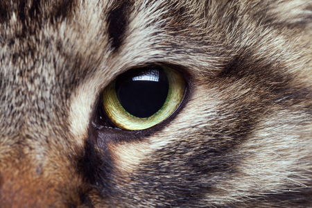 cat eye: Cat eye in close up photo. Green cat eye looking straight in camera Stock Photo
